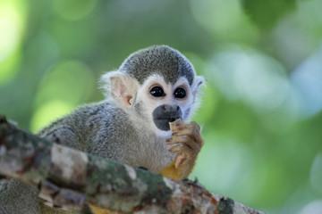 Singes Saimiris de Guyane