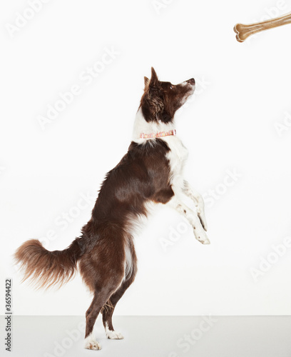 Dog standing to reach bone