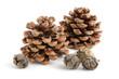 Pinien- und Zypressenzapfen