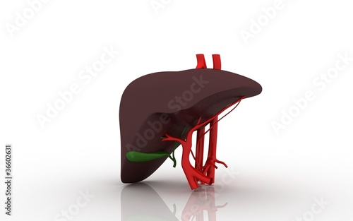 3D Liver and Gallbladder on a white background