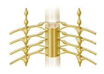 Grenzstränge und Rückenmark, Spinalnerven