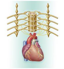 Rückenmark und Herz Innervation