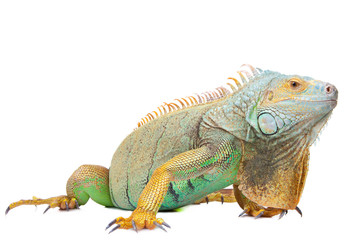 iguana on isolated white