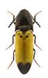 Ampedus quadrisignatus