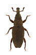 Dryophthorus corticalis