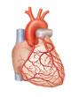 Leinwanddruck Bild - Arterien des Herzens