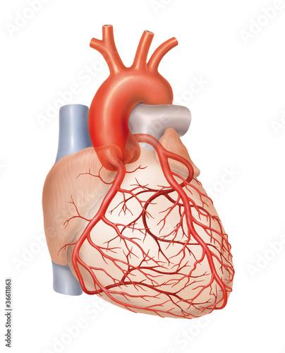 Leinwanddruck Bild Arterien des Herzens