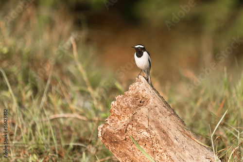 White-browed wagtail on the chump in Chitwan Nepal