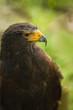Bird of prey Harris hawk