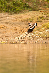 White-browed wagtail on the fly in Chitwan Nepal
