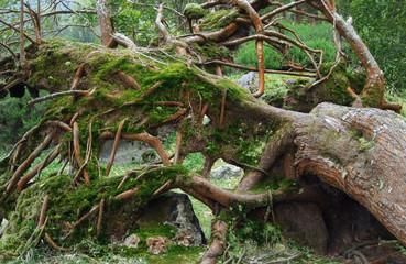 overgrown tree trunk