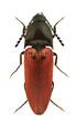 Ampedus cinnaberinus