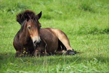 Ponyfolhen, liegend