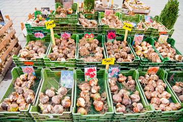 Tulip bulbs sales on street market