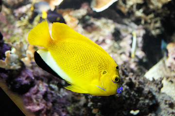 Poisson tropical jaune