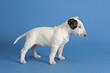 Hunde-Bullterrier-12813