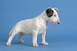 Hunde-Bullterrier-12736