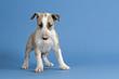 Hunde-Bullterrier-12760