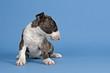 Hunde-Bullterrier-12740