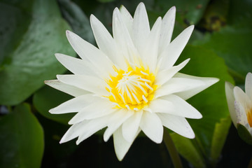 Closeup white lotus flower in the lake