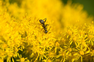 セイタカアワダチソウと蟻