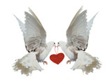 Two white doves holding red heart with their beaks poster