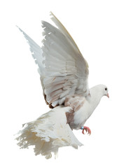 White dove flying high