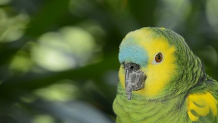Parrot, close up.