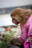 Indian female monkey in pink costume