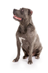 "dog breed ""Cane Corso"""