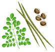 Moringa oleifera.