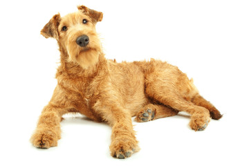 Irish Terrier, purebred dog lying on white background