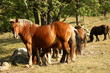 herd of chestnut horses