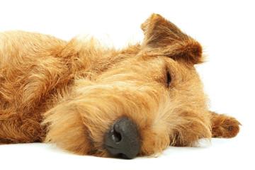 Irish Terrier, purebred dog sleeping on white background