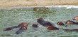 some Hippos waterside  in Africa