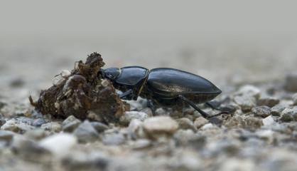 female stag beetle sideways