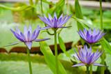 Lotus Flowers - 36670022