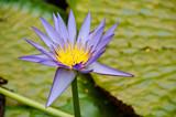 Lotus Flower - 36670053
