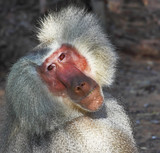 The silvery baboon thoughtfully poses for spectators poster