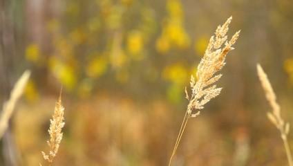 Осень. Злаковые растения крупным планом