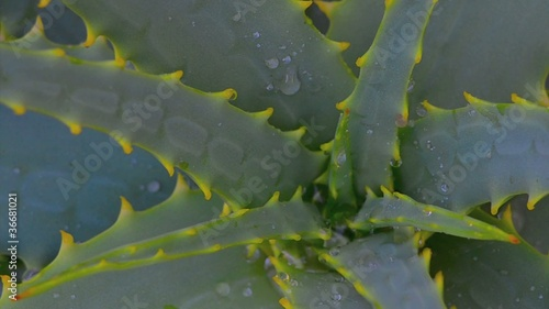 Raindrops on Aloe Vera plant
