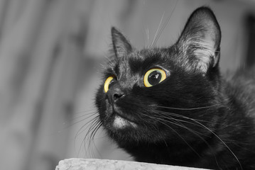 Close up portrait of a black cat with yellow eyes looking upward