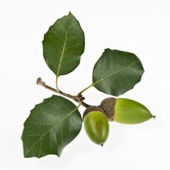 Steineiche, Eicheln mit Blättern, isoliert I