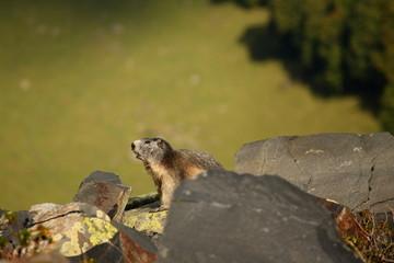watchful marmot