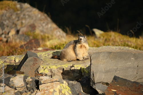 marmot on the watch