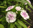 White sweet william