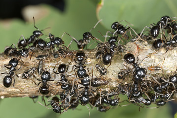 Black ants harvesting on aphids, extreme close up