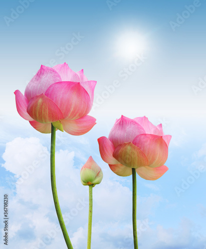 Fotobehang Lotusbloem pink lotus and sun light in blue sky background