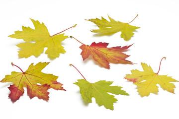 Ahornblätter mit Herbstfärbung