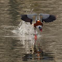 Shell-Duck